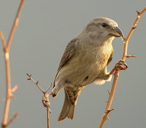 animales - aves - piquituerto
