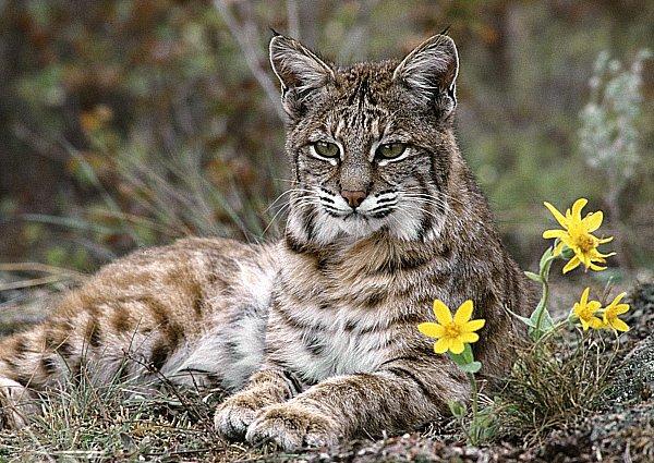 animales - gato montes