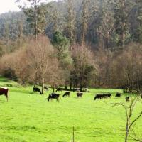 cortiña vacas