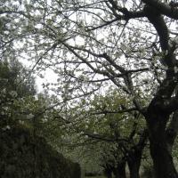 Casa Rural Ginkgos Floración del Cerezo