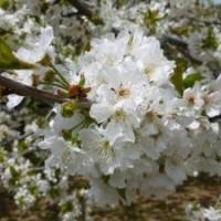 Casa Rural Ginkgos Cerezo en flor