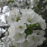 Casa Rural Ginkgos Flor del cerezo