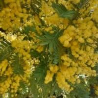 Ginkgos Mimosa en flor 2